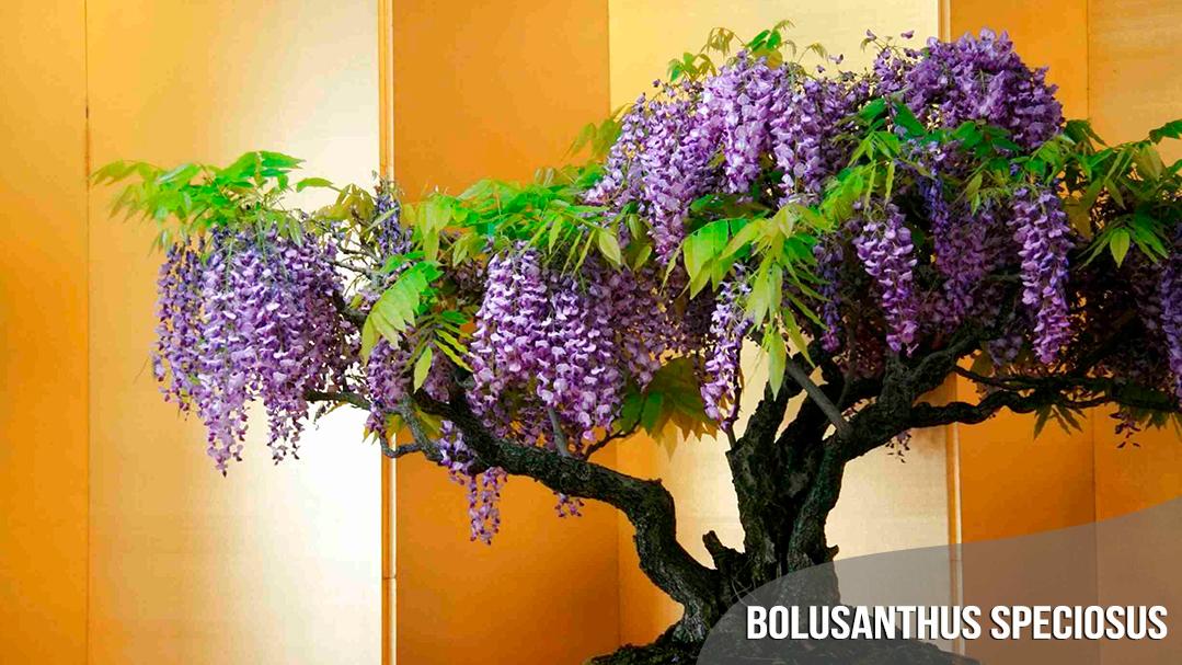 best-seller-Bolusanthus-Speciosus-quinta-dos-ouriques
